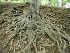 roots_of_big_old_tree