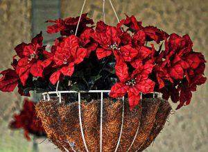 poinsettia-hanging-basket