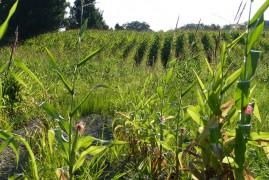 Damaged corn field-8-15